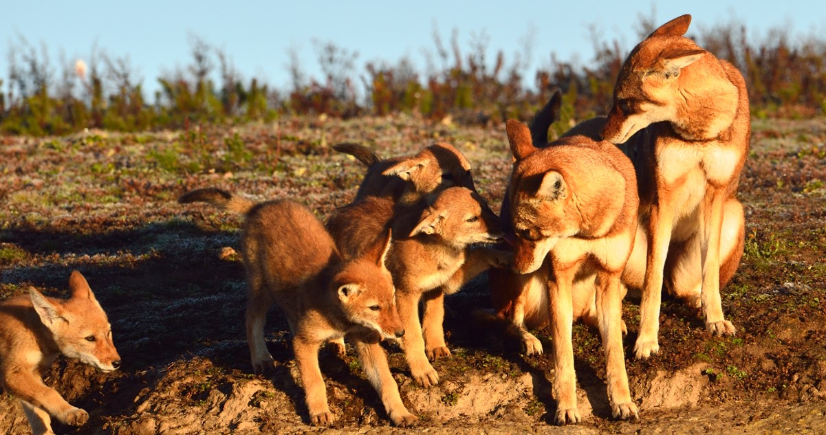 Ethiopian wolf family by Thierry Grobet