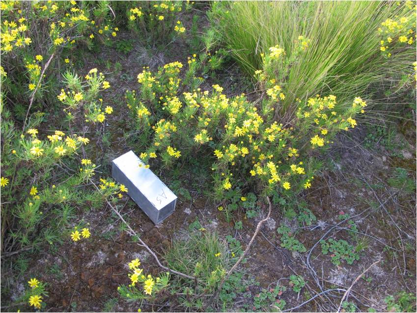 rodent trap set in charranfe bushes